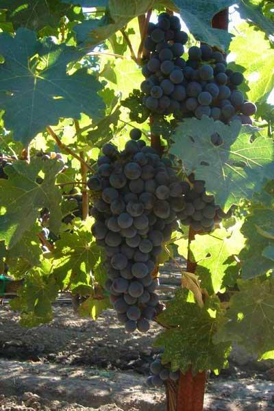 Grapes - DSC00082