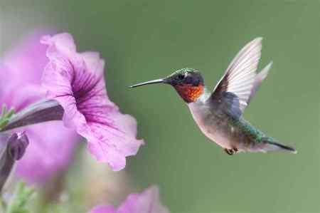 hummingbird-at-flower